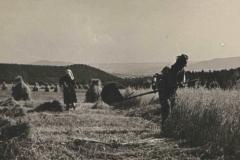 Żniwa ok 1955 r.